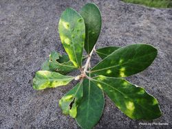 Phil Bendle Collection:Psyllid (Pittosporum) Trioza vitreoradiata