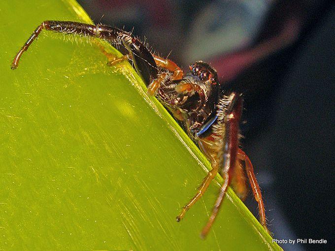 Trite planiceps Black Headed jumping spider-002.JPG
