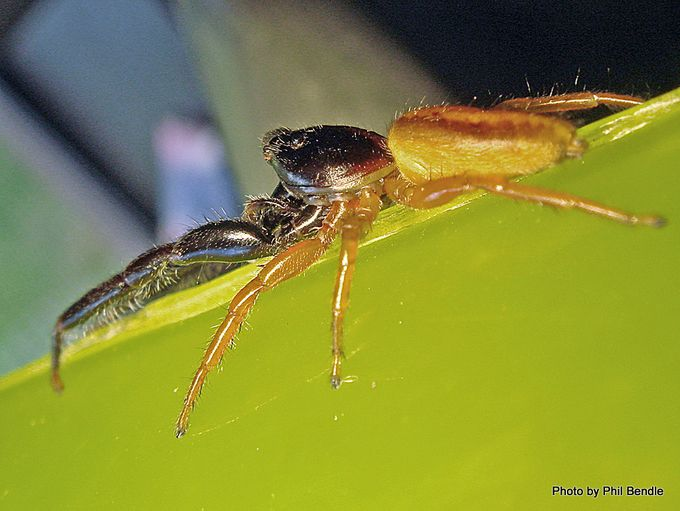 Trite planiceps Black Headed jumping spider.JPG