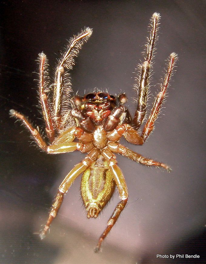 Trite planiceps Blackheaded jumping spider.JPG