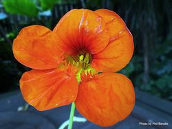 Phil Bendle Collection:Tropaeolum majus (Nasturtium)