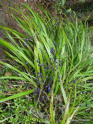 Phil Bendle Collection:Dianella nigra (Blueberry, Turutu)