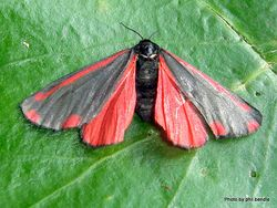 Phil Bendle Collection:Tyria jacobaeae (Cinnabar moth)