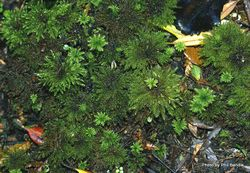 Phil Bendle Collection:Hypopterygium rotulatum (Umbrella moss)