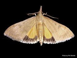 Phil Bendle Collection:Uresiphita maorialis (Kowhai moth)