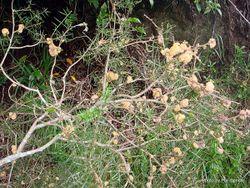 Phil Bendle Collection:Uromycladium notabile (Acacia rust fungi)
