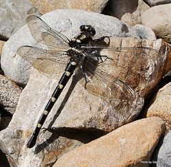 Phil Bendle Collection:Dragonfly (Bush) Uropetala carovei