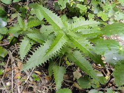 Phil Bendle Collection:Tree nettle (Urtica ferox)