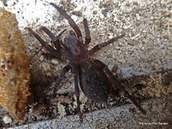 Phil Bendle Collection:Vagrant spider (Uliodon albopunctatus)