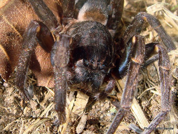 Vagrant spiders Genus Uliodon -003.JPG