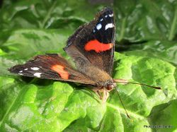 Phil Bendle Collection:Red Admiral butterfly (Vanessa gonerilla gonerilla)