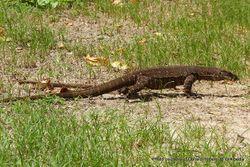 Phil Bendle Collection:Lizard (Lace monitor) Varanus varius (Exotic)