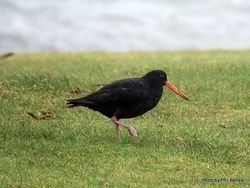 Phil Bendle Collection:Oystercatcher (Variable) Haematopus unicolor