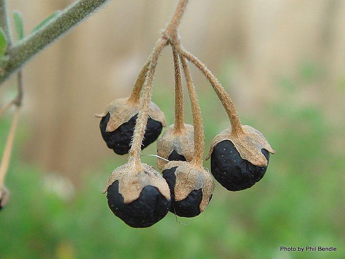 Velvety nightshade Solanum chenopodioides-003.JPG