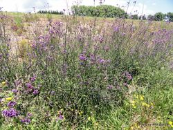 Phil Bendle Collection:Verbena bonariensis (Purple Top)