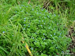 Phil Bendle Collection:Veronica persica (Scrambling Speedwell)