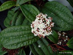 Phil Bendle Collection:Viburnum davidii (David viburnum)