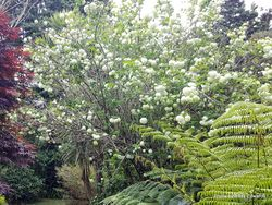 Phil Bendle Collection:Viburnum plicatum Snowball (Snowball bush)