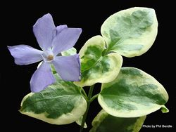 Phil Bendle Collection:Vinca major variegata (Variegated periwinkle)