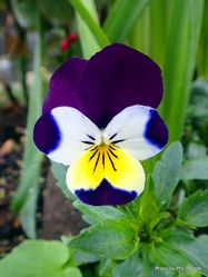 Phil Bendle Collection:Viola tricolor (Heartsease)