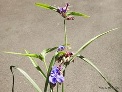 Phil Bendle Collection:Tradescantia virginiana (Virginia spiderwort)