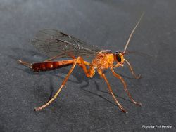Phil Bendle Collection:Wasp (Orange Ichneumonid) Netelia ephippiata