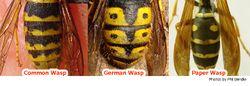 Phil Bendle Collection:Wasp (Common) Vespula vulgaris
