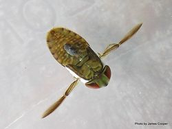 Phil Bendle Collection:Water boatmen (Family Corixidae)