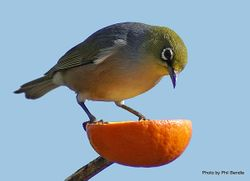 Phil Bendle Collection:Silvereye (Zosterops lateralis)