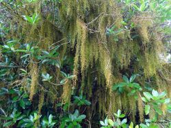 Phil Bendle Collection:Weymouthia mollis (Old man beard moss)