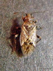 Phil Bendle Collection:Bug (Wheat bug) Nysius huttoni