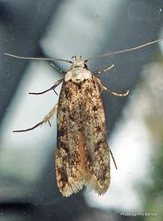 Phil Bendle Collection:Endrosis sarcitrella (White-shouldered House moth
