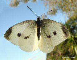 Phil Bendle Collection:White butterfly (Small) Pieris rapae