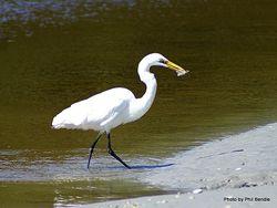 Phil Bendle Collection:Heron (White heron) Egretta alba modesta