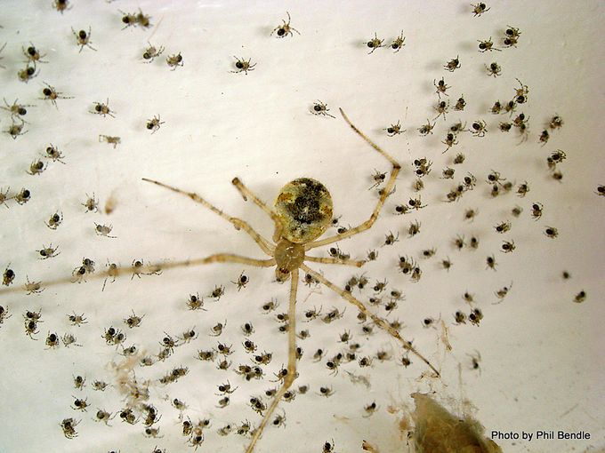 White porch spider Cryptachaea gigantipes-003.JPG
