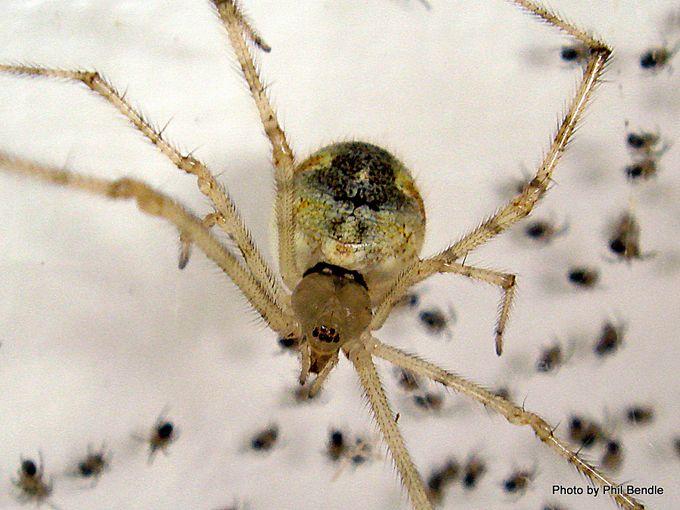 White porch spider Cryptachaea gigantipes.JPG