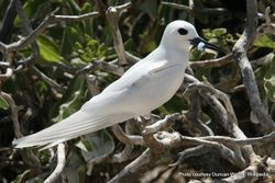 Phil Bendle Collection:Tern (White) Gygis alba