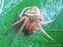 Phil Bendle Collection:Orbweb spider (White-banded) Zealaranea crassa