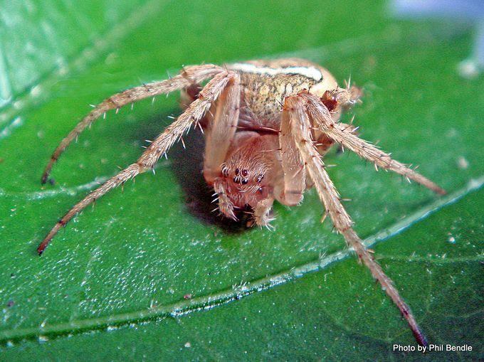 Whitebanded Orbweb Spider Zealaranea crassa-002.JPG