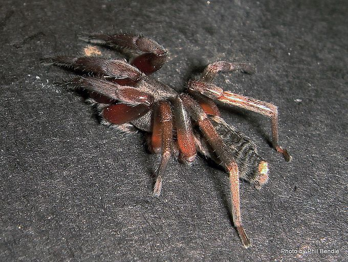 Whitetail spider Lampona cylindrata.JPG