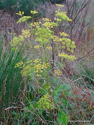 Phil Bendle Collection:Pastinaca sativa (Wild Parsnip)