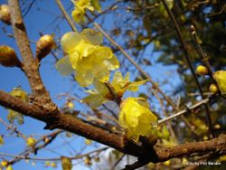 Phil Bendle Collection:Chimonanthus praecox (Wintersweet)