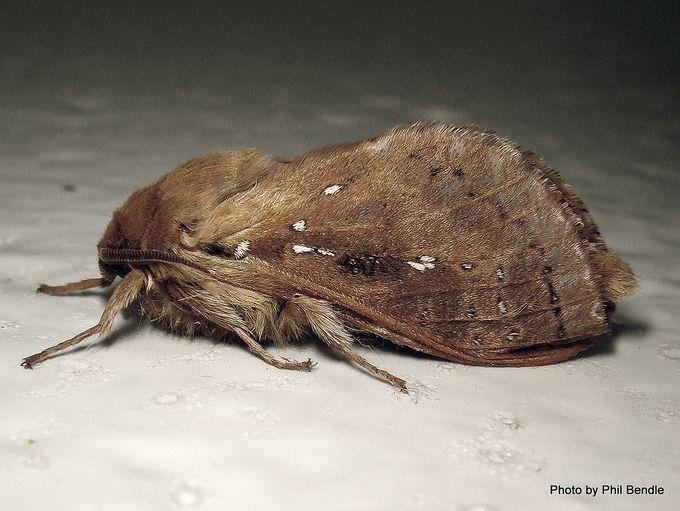 Wiseana copularis male.JPG