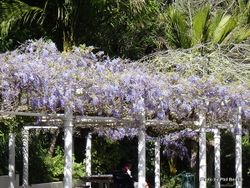 Phil Bendle Collection:Wisteria (Chinese and Japanese)