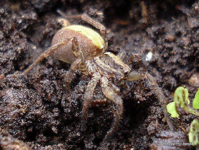 Wolf spider Genus Lycosa -2.JPG