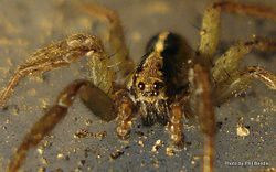 Phil Bendle Collection:Wolf spider (Anoteropsis hilaris)