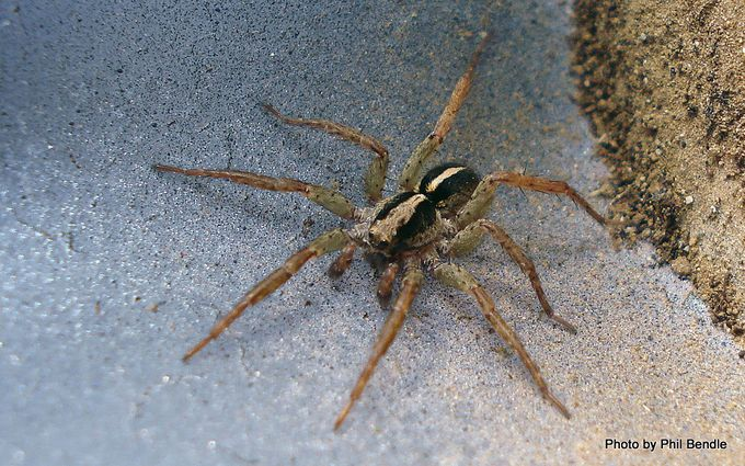 Wolfe spider Lycosa hilaris-10.JPG