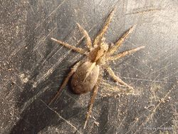 Phil Bendle Collection:Wolf spider (Anoteropsis genus)