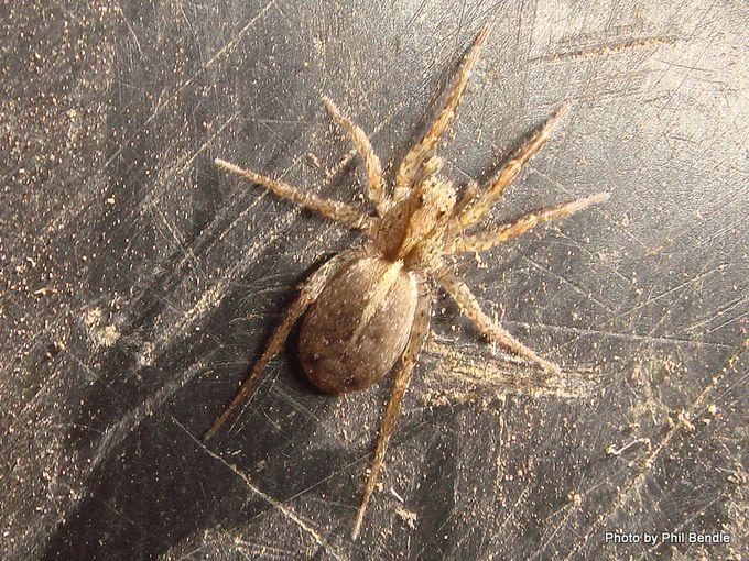 Wolfe spider Lycosa hilaris.JPG