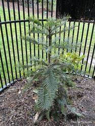 Phil Bendle Collection:Wollemia nobilis (Wollemi Pine)
